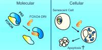 FOXO4-DRI senescente cellen verwijderen